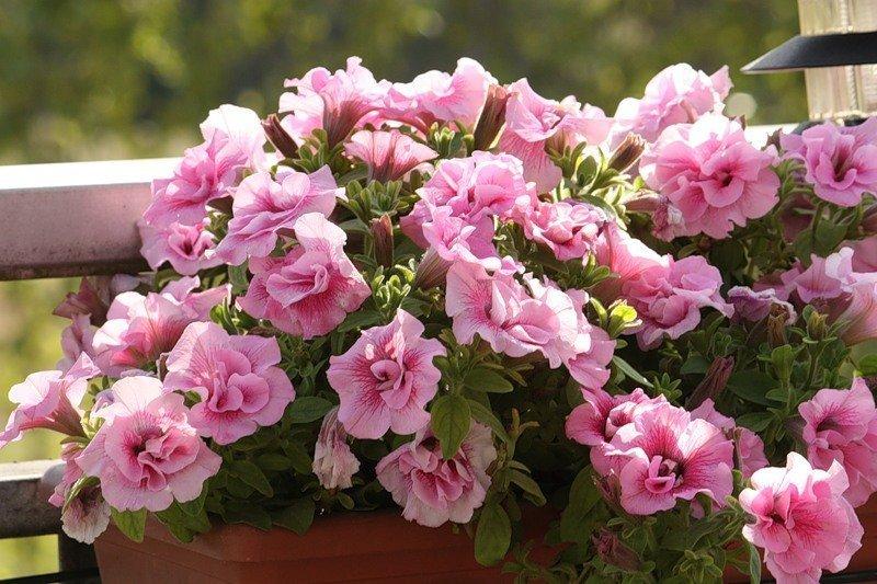 Сорта ампельные и махровые виды гибридные и крупноцветковые сорта растения
