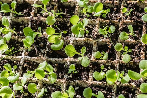 Как высадить рассаду