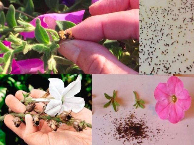 Готовим семена петунии