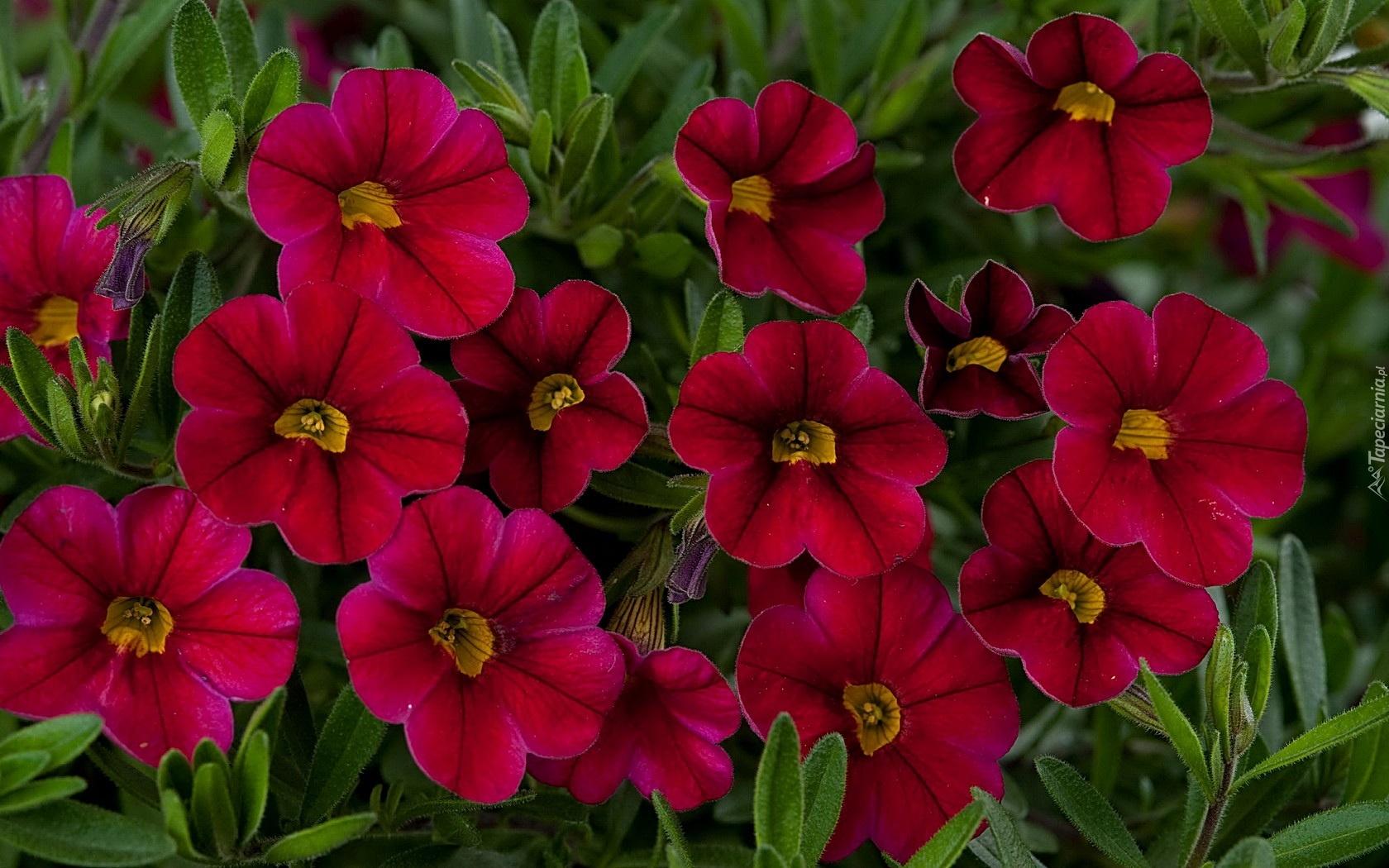 Цветок похожий на петунию- сурфиния