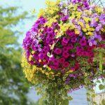 Способ выращивания петунии