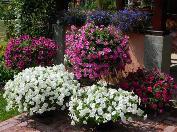 Как украсить сад петунией