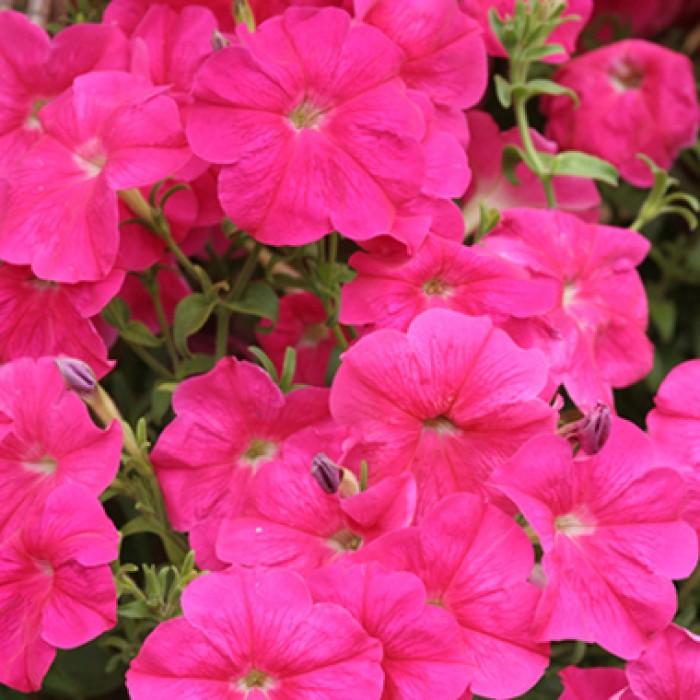 Петуния Лавина розовая