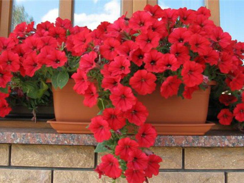 Нюансы выращивания петунии на балконе