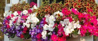 Выращиваем петунии на балконе