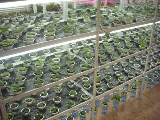 Правила выращивания петунии в теплицах