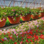 Как правильно выращивать петунию в теплицах