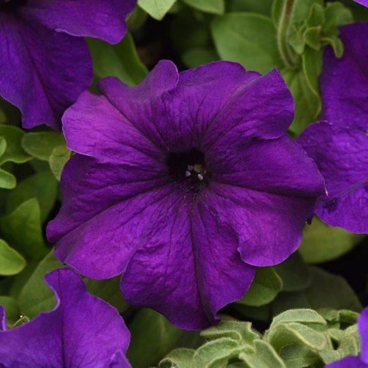 Петуния Суперкаскад Ф1 грандфиола (Petunia grandiflora supercascade F1)
